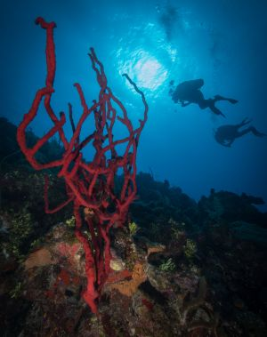 Red Sponge and Divers