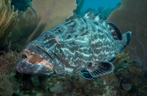 Grouper Mouth
