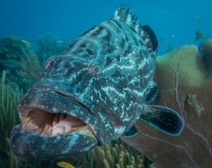 Grouper Mouth2
