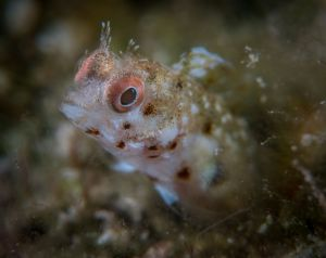 Spotted Blenny