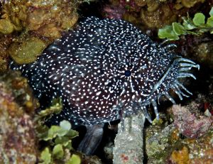 Black Spotted Toadfish