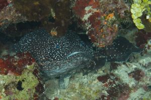 Spotted Toadfish