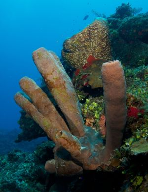 Tube Coral