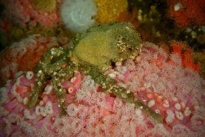 Mask Crab