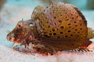 Mothfish