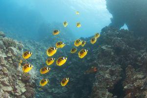 Racoonfish