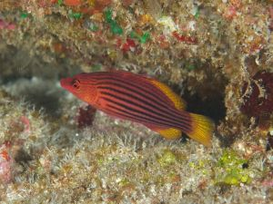 Eight Lined Wrasse
