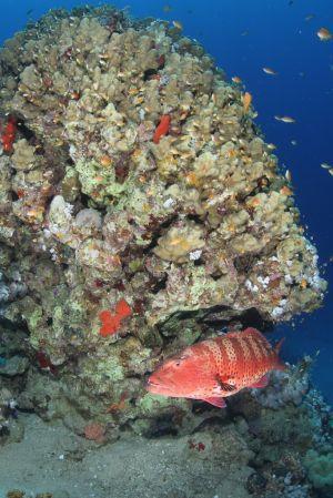Grouper under Coral