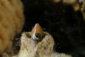 Flangblenny