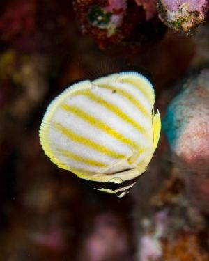 Juve Butterflyfish