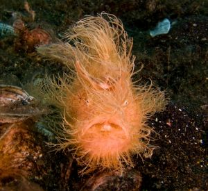 Hairy Frog Fish