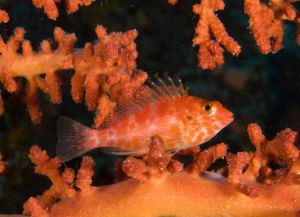 Hawk Fish on Red Coral
