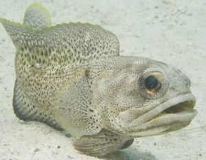 Finespotted Jawfish