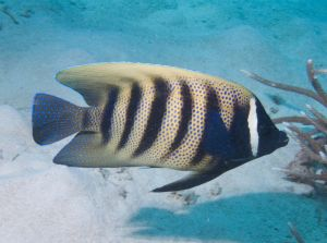 Six Lined Butterflyfish