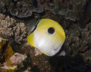 Eclipse Butterflyfish