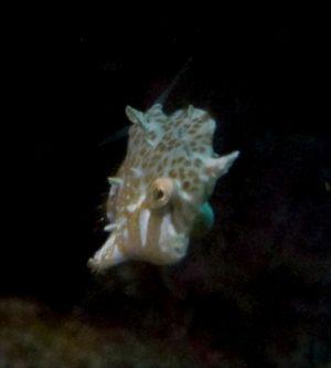 Miniature Filefish