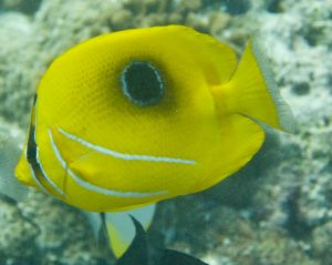 Eclipse Angelfish