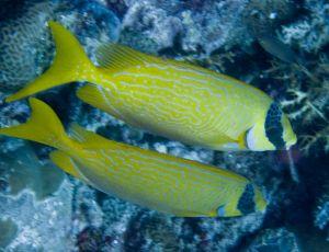 Pair of Rabbitfish