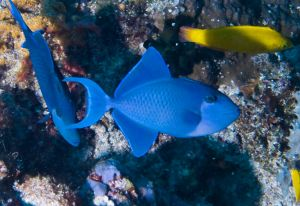 Red Lipped Triggerfish