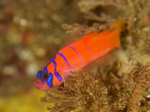 Blue Striped Goby