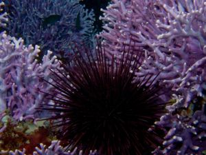 Purple Urchin and Hydrocoral