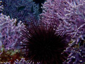 Purple Urchin and Hydrocoral