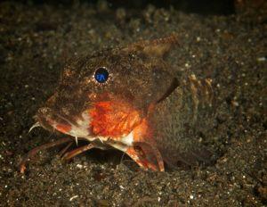Painted Stingfish