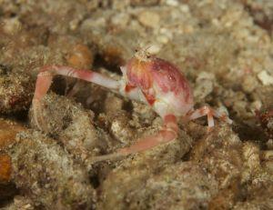 Undertermined Squat Lobster