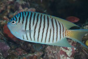 Blackspot Angelfish