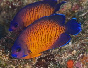 Dual Two-Spined Anglefish