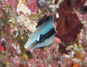 False Cleanerfish