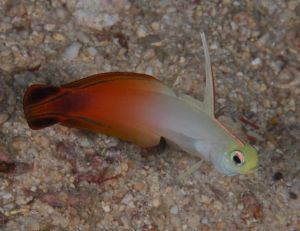 Fire Dartfish