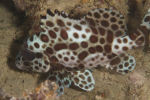 Juvenile Many-Spotted Sweetlips