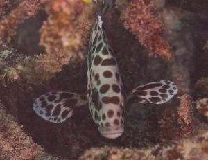 Juvenile Sweetlips