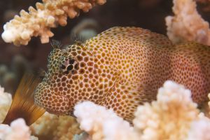 Leopard Blenny Head