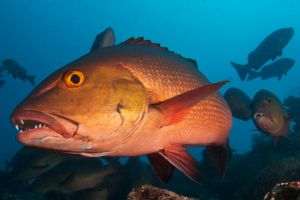 Red Sea Bass