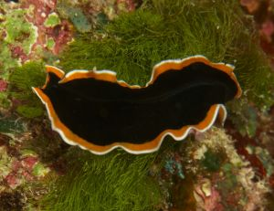Undescribed Flatworm