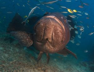 Grouper Face
