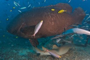 Grouper Side