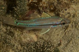 Narrow Striped Cardinalfish
