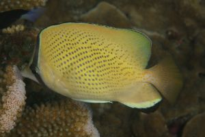 Speckled Butterflyfish