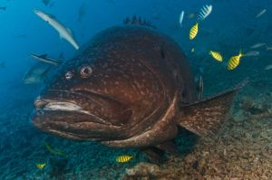 Grouper Side Face