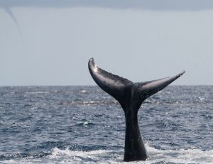 Whale Tail with Spout