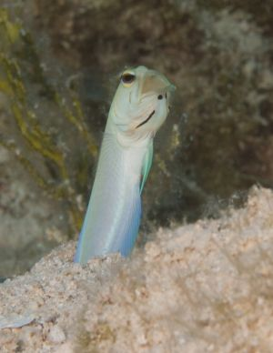 Yellow Jawfish in Hole
