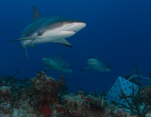 Reef Sharks and Cage