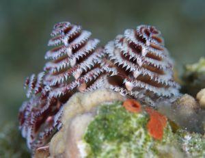 Christmas Tree Worms