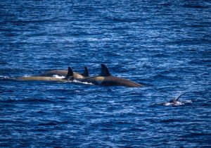 3 Orca and a Seal.jpg