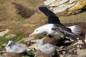 Albatros with Chicks on Nests.jpg