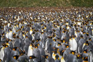 Flock of Penguins.jpg