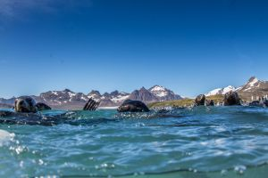 Fur Seals in Water.jpg